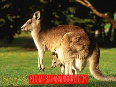 29-Kangaroo