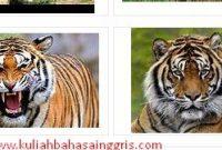 Pengertian Dan Contoh Report Text About Tiger Beserta Artinya Terbaru