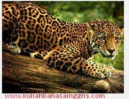 Pengertian Contoh Report Text About Jaguar Beserta Artinya