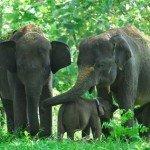 Contoh Teks Deskripsi Tentang Gajah Dalam Bahasa Inggris Beserta Arti